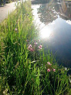 Kruiden gedijen steeds beter in bermen van @Lansingerland. Zoals de Zwanebloem. # biodiversiteit #ontdekLansingerland