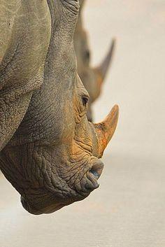 best images and photos ideas about rhinoceros - horned animals Large Animals, Zoo Animals, Animals And Pets, Funny Animals, Cute Animals, Wild Animals, Rhino Animal, Rhino Art, Wildlife Photography