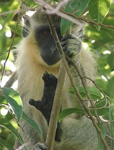 Barbados green monkeys, we would feed them bananas down at the park if we didn't get there early enough they would come to the house
