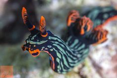 How to Fall in Love with Nudibranchs in 12 Easy Steps