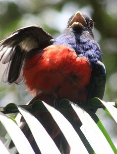 Surucuá Común (Trogon Surucua), Yacutinga, Iguazú. Argentina
