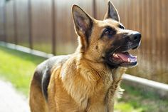 Steaming breath of a German shepherd dog in cold sunny morning.