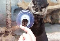 The otter petting-you zoo!    (An otter reaching out to touch a human finger.)