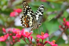 Beautiful butterfly and The Flower