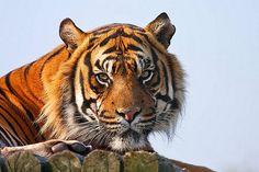 Sumatran tiger, Nias