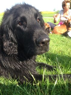 In loving memory our flatcoated retriever Storm.