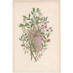 Anne Pratt antique 1860 botanical print, Pl 132 Cranberry, Flowering Plants