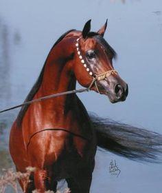 Marwan Al Shaqab  Arabian Stallion in Arabian Fancy tack