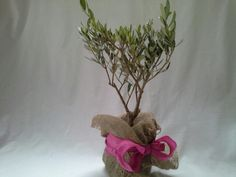 Bonsai Olea europaea, olive tree, gift presentation, by Herber Plants Designs.