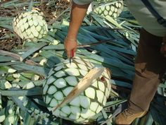 Cutting leaves from the agave piñas -- will be tequila soon!