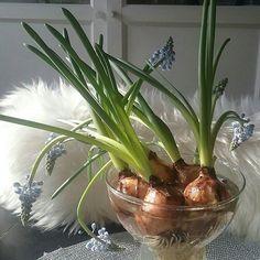 KEVÄT KUKAT...IHANAT Helmililjat kasvavat, eivätkä kestä pystyssä. Hymy Tykkään, mutta väri olisi saanutolla valkoinen. En ole Sinisen ystävä. HYMY @kauniistikotimainen #kukat #kevät #koti #sisustus #helmililjat #keittiö ☺