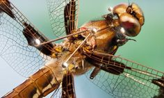 Forget sharks! DRAGONFLIES are the deadliest hunters