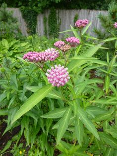Chicago Plants, Landscapes, Parks & Preserves - and the people that create them Leafhopper, Swamp Milkweed, Preserves, Landscape, Park, Create, Plants, Parks, Plant