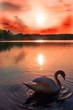 Swan sunset