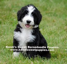 """Frank is a 7 month old Bernedoodle. """"He won't be as big as"""
