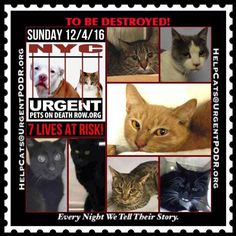 """TO BE DESTROYED 12/04/16 - - Info  Please Share:Please share View tonight's list here: http://nyccats.urgentpodr.org/tbd-cats-page/  The shelter closes at 8pm. Go to the ACC website( http:/www.nycacc.org/PublicAtRisk.htm) ASAP to adopt a PUBLIC LIST cat (noted with a """"P"""" on their profile) and/or … CLICK HERE FOR ADD...-  Click for info & Current Status: http://nyccats.urgentpodr.org/to-be-destroyed-091716/"""