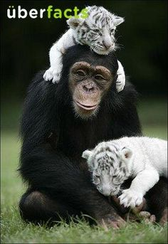 UberFacts ‏@UberFacts  In 2008, a monkey named Anjana adopted and raised two baby white tigers named Mitra and Shiva