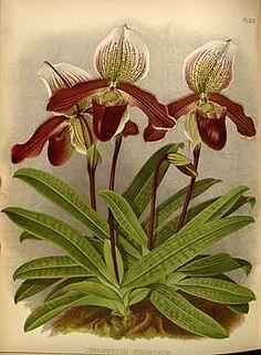 Orchid: Cypripedium oenanthum Rchb.f. / Warner, R., Williams, B.S., Orchid album, vol. 1889: t. 379  (1889) -112515