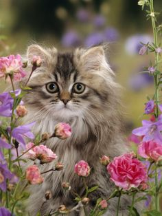 Long Haired Tabby Persian Kitten Among Dwarf Roses and Bellflowers