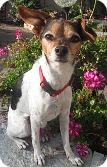 *** GREAT NEWS! *** I HAVE BEEN ADOPTED!!! San Diego, CA - Chihuahua Mix. Meet Dutchess, a Dog for Adoption. Contact Chihuahua Rescue of San Diego @ (858) 277-3557.