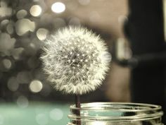 another dandelion <3