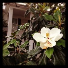 Southern goodness. Magnolia trees in bloom