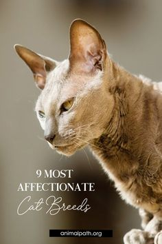 Read what feline experts and fanciers claim are the 9 most affectionate cat breeds. Egyptian Cat Breeds, Egyptian Mau, Small Cat Breeds, Tonkinese, Basement Office, Cornish Rex, Devon Rex, Kitten Care, Study Help