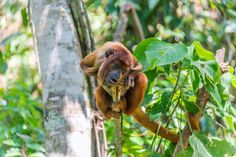 Young Red Howler Monkey by Jess Kraft - Photo 131178259 - 500px