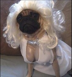 Animals Discover Dog Halloween costumes check out these 17 pugs with crazy ideas for the big night which one is your favorite? Cute Pugs, Cute Funny Animals, Cute Baby Animals, Funny Cute, Funny Dogs, Cute Puppies, Funny Memes, Odd Animals, Hilarious