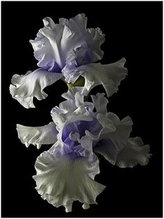"Tall Bearded Iris ""Willamette Mist"""