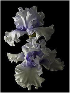 "Tall Bearded Iris ""Willamette Mist"""