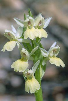 Orquídeas de primavera-Orchis insularis by Pedro Francisco  Condés de la Torre on 500px