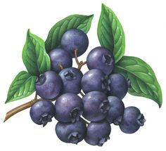 Blueberries on a branch with leaves.