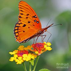 Butterfly Diaries Photograph by Suzanne Gaff - Butterfly Diaries Fine Art Prints and Posters for Sale