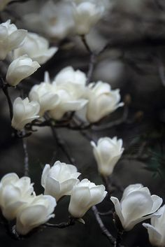barsanworld:magnolia 4 by Sky-Genta on Flickr.