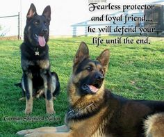 This mostly Black GSD is the perfect coloration!!!