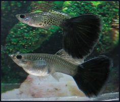 blacktail snake cobra guppy pair-dogsandhorses