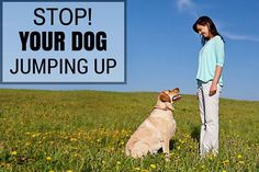 Stop your dog jumping up written beside a woman training a lab in a field