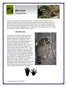 Raccoon : procyon lotor, by the Oregon Department of Fish and Wildlife