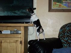 YES Rat Terriers do watch TV!  Bubbie makes lots of people laugh when she does this..