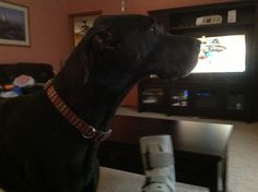 Hard to watch tv with a through a Great Dane