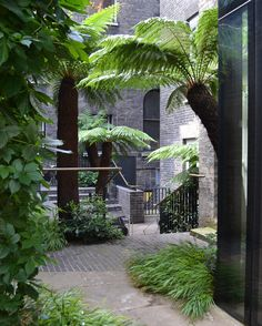Tree ferns in Keeper's Courtyard, Royal Academy, designed by Tom Stuart-Smith.