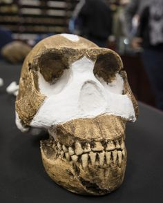 A new species of South African hominin (Homo naledi).