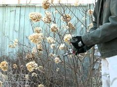 Pruning Limelight Hydrangea in the Spring in Rensselaer County, NY - YouTube