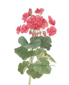 Red Geraniums Original Watercolor 810 by by wandazuchowskischick