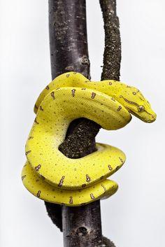 Juvenile Australian Green Tree Python