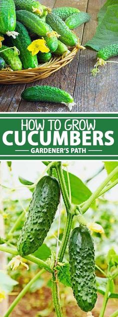 Journeying from India to Spain and to Haiti before making their way to the US., cucumbers have long been depended on to add a satisfying crunch to summer meals. Learn how to grow this summer crop at Gardener�s Path now.