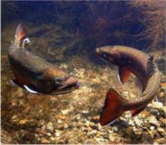 Vermont State Coldwater Fish - Brook Trout
