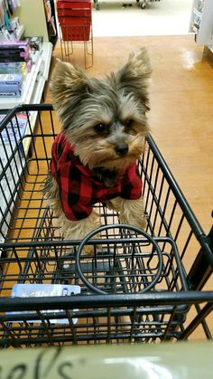 "Mommy and sister took me on a quick shopping trip.  "" I Love to go shopping"". #yorkshireterrier"