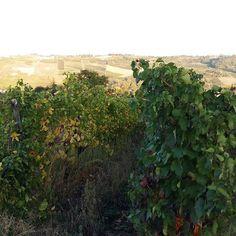 Our Ca' Barnaba vineyard at sunset hours before harvest #belsitwine #naturalwine #nature #vineyard #harvest #healthy #barbera #singlevineyard #winelover #sustainable #sunset